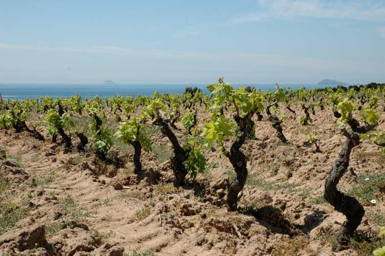 Vineyards of Giba